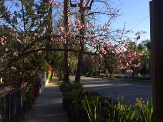 blossoms_sierramadre
